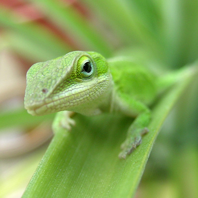 Because lizards, birds, and rodents are prey in the wild, they can be naturally jumpy or anxious as pets. Photo by Patti Haskins.