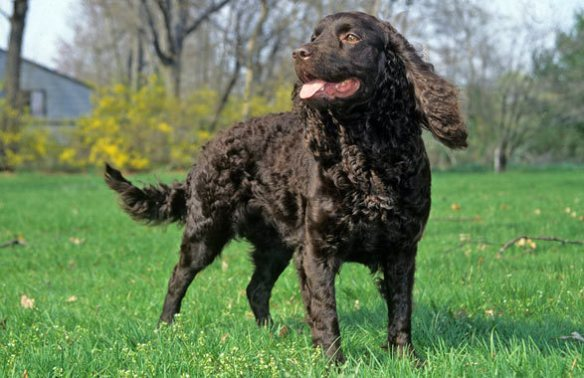 Some animals have an innate sense of purpose to protect their families, like Zane the American Water Spaniel did. Photo by VetStreet.com.