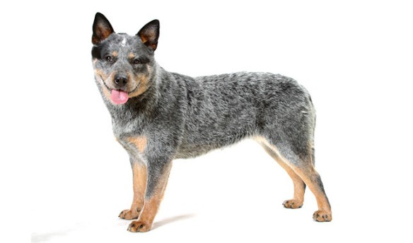 Several dogs breeds, like the Australian cattle dog, have high energy levels, and regular exercise helps them manage that. Photo by VetStreet.com