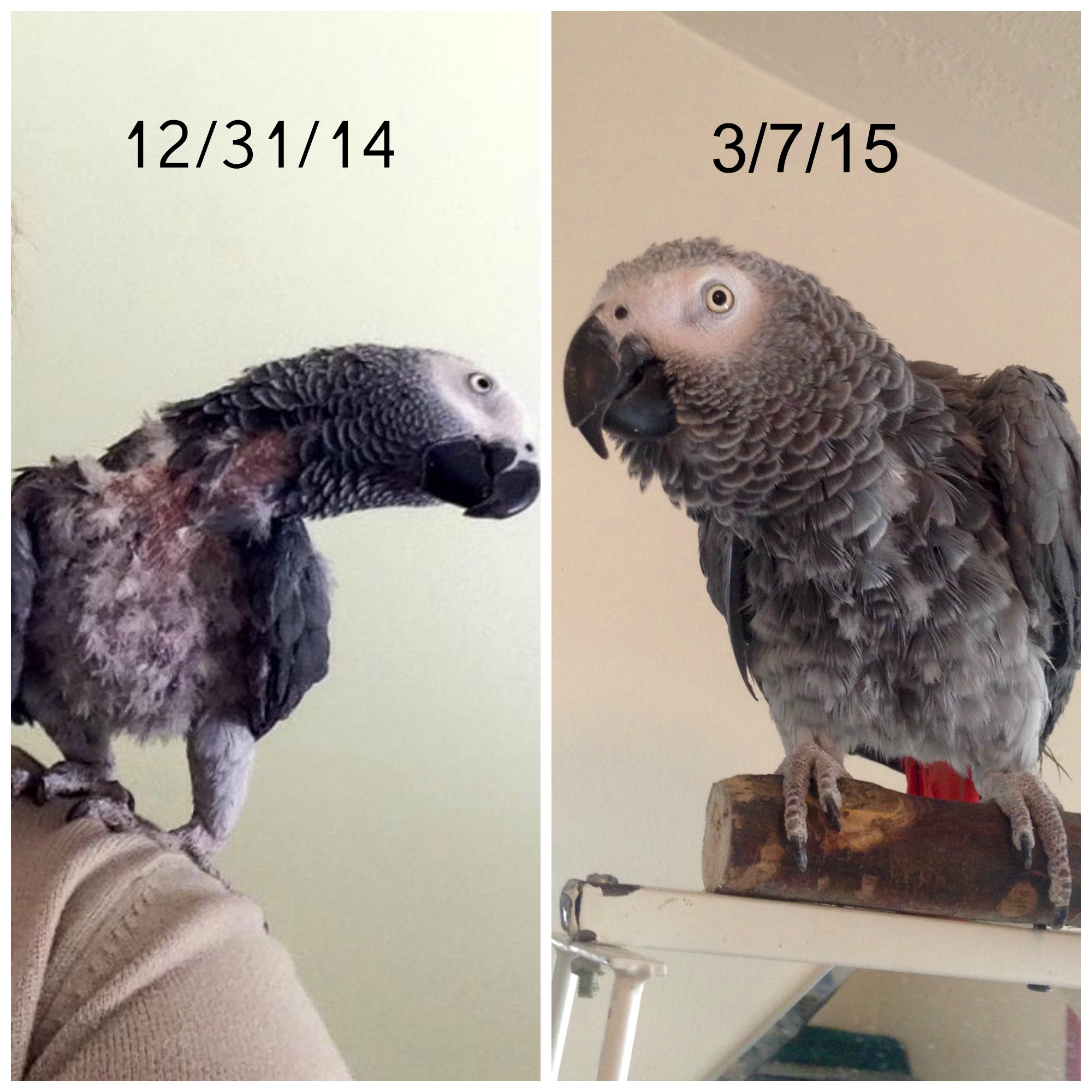 Treating Lucky the African gray parrot like he was a pet bird rather than a human or dog, helped him feel secure and stop plucking his feathers.