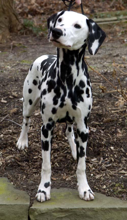 Dalmatian_black_front